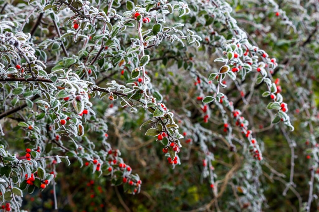 cotoneaster shrub beloved by birds and bees.