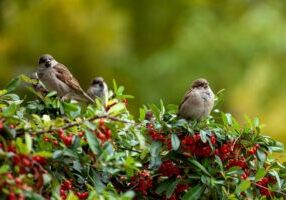 Sparrow sitting on a branch of a shrub with yellow and green leaves in autumn time, birdes